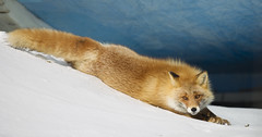 Japan (richard.mcmanus.) Tags: japan redfox fox winter hokkaido mcmanus snow wildlife animal mammal nemuro