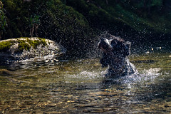 Bertie still likes to make a splash (jayneboo) Tags: bertie cocker spaniel blue roan abergynolwyn gwynedd wales waterfall splash shake waterdrops backlight sunlight dappled swim water pebbles rocks