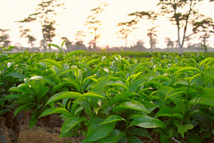 Tea plantation. Sonari, Assam, India (n1ck fr0st) Tags: tea plantation sonari assam india sunset