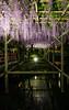 Kameido Tenjin Wisteria Festival (tokyobogue) Tags: tokyo japan kameido kameidotenjinjinja kameidotenjinshrine nikon nikond7100 d7100 sigma sigma1750mmexdcoshsm wisteria flowers blossoms blooms kameidotenjinwisteriafestival reflection water