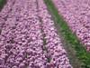 IMG_3849 (johnspaargaren) Tags: tulips tulpen lisse holland purple field keukenhof bokeh