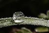 9S7A7477b (영수엄) Tags: 새벽이슬 아침이슬 초접사 오이풀 얼음이슬 일액현상 dew morningdew