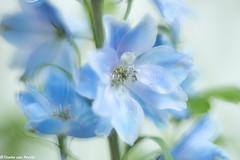 Dreaming blues (Tineke van Persie) Tags: double exposure meervoudige belichting blauw macro macrodreams blue delphinium ridderspoor