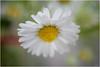 spring in the fields ... (miriam ulivi - OFF /ON) Tags: miriamulivi nikond7200 fiore flower wildflower flora pratolina margheritina daisy nature macro 7dwf