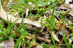 Slow Worm (CJT29(No longer Pro)) Tags: hampshire cjt29 outdoors slowworm reptile acresdown newforest anguisfragilis