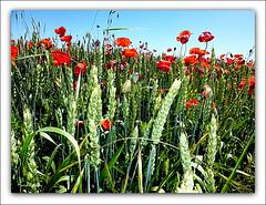 Amapolas y cereal (marijeaguillo) Tags: amapolas cereal camposdeamapolas