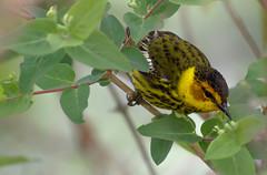Cape May Warbler (Kremlken) Tags: westernpennsylvania springmigration warblers birds birding nikon500