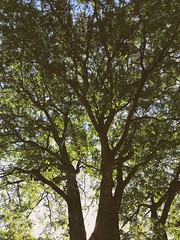 190/365/7 (f l a m i n g o) Tags: monday 2018 2nd july summer tree 365days project365