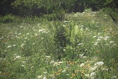 nature (bulbocode909) Tags: valais suisse ovronnaz montagnes nature fleurs prairies fougères vert jaune explore