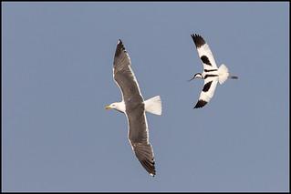 Avocet v Lesser Black-backed Gull
