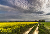 The gate (Wayfarer in the clouds) Tags: landscape italy marche yellow sky clouds sun light rapeseed road gate field grass green flowers