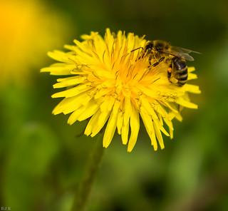 Dandelion and Honey Bee!!