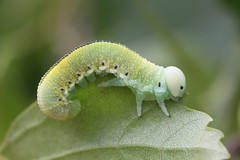 sawfly larva (bugman11) Tags: sawfly larva larvae insect insects bug bugs fauna animal animals bokeh nederland thenetherlands nature ede leaf leaves canon 100mm28lmacro green macro 1001nightsmagiccity 1001nights