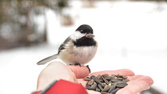 Sweet Chickadee (LupaImages) Tags: brid chickadee small friendly feathers face eat nature wild wildlife outdoors outside hand love