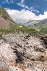 Salamandra atra (Tomas_K) Tags: salamandra atra alpine salamander mander black alps austria mountains mlok alpský alpsky