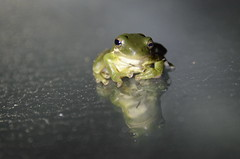 Chilled Out Frog (vbvacruiser) Tags: virginia virginiabeach frog treefrog green reflection