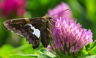 Silver-spotted Skipper on Red Clover