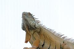 Green Iguana (Jim Skovrider) Tags: afsnikkor70200mmf4gedvr adobephotoshoplightroom d800 danmark denmark nikon nikond800 nikonfx randersregnskov sb900 animal animalsincaptivity nikkor zoo
