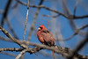 november 2017 lake katherine (timp37) Tags: bird cardinal illinois lake katherine november 2017 palos
