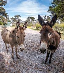 P1200320.jpg (Steve1949) Tags: donkeys animals harkersisland