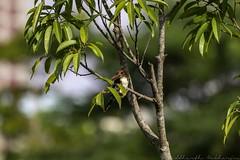 20180708-0I7A8787 (siddharthx) Tags: 7dmkii bird birdwatching birding birdsinthewild bishanangmokiopark canon canon7dmkii ef100400f4556isii ef100400mmf4556lisiiusm nature singapore singaporeparks trek urbanbirds urbangreens sg whitethroatedkingfisher whitebreastedkingfisher kingfisher