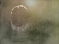 Crescent Flight (clarkcg photography) Tags: bird egret water flight cupped crescent reflection texture texturaltuesday greategret animal fauna wildlife oklahoma cof022 cof022dmnq cof022mari