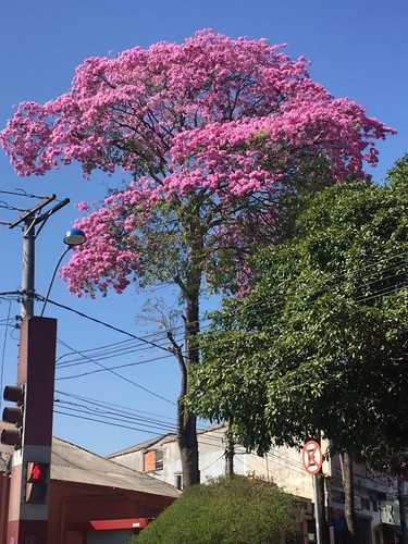 The light pink trumpet tree, Banyan tree Plaza, São Caetano do Sul, SP, Brazil.