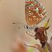Aricia  Cramera (diegocon1964) Tags: ariciacramera lepidoptera papilionoidea lycaenidae lycaeninae polyommatini plebeius aricia