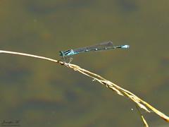 Bluet IMG_6698 (Jennz World) Tags: ©jennifermlivick mountpleasantnaturepark mountpleasant mtpleasant ontario canada dragonfly damselfly