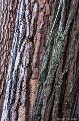 Yosemite  Valley - Three Trees_4753 (www.karltonhuberphotography.com) Tags: 2018 abstract california conifers details forest karltonhuber landscape nature outdoors pattern pinetrees texture treebark treetrunks trees verticalimage wandering yosemite yosemiteconservancy yosemitenationalpark yosemitevalley