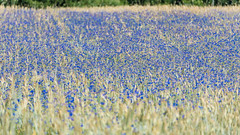 Kornblumen  - Cornflowers (Peter Goll thx for +7.000.000 views) Tags: erlangen germany dechsendorf konrfeld kornblumen cornflower field franken seebachgrund d750 nikon nikkor 28300mm