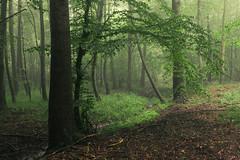 Summer Fog (Netsrak) Tags: baum eu europa europe forst landschaft natur nebel wald fog forest landscape mist nature tree trees woods bäume rheinbach nordrheinwestfalen deutschland de