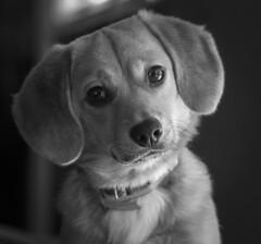 Got to love me (Southern Darlin') Tags: dog puppy pup pupper cute adorable corgipom bw blackandwhite bnw canon animal pet friends freya