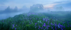 Fog and flowers, Grand River predawn (virgil martin) Tags: fog dew river dawn flowers damesrocket grandriver wellington county ontario canada