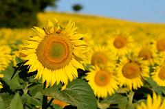 Sunflower (ciccioetneo) Tags: countyside campagna country campagnamarchigiana pesaro pesarourbino marche girasoli sunflowers nikon d7000 nikond7000 sigma70200mmf28 campagnapesarese giallo yellow