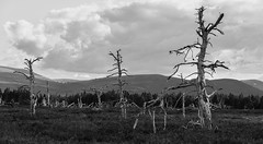 The Quick and The Dead (Geoff France) Tags: trees deadtrees landscape scottishlandscape cairngorms cairngormsnationalpark fire forestfire moor skeleton spruce
