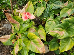 Anthurium: Sun scald of leaves (Plant pests and diseases) Tags: anthurium sun scald sunburn burn leaf leaves necrosis blight