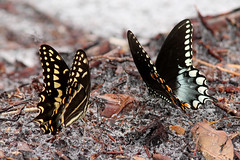 Palamedes and Spicebush Swallowtails (Papilio palamedes and P. troilus) (Mary Keim) Tags: taxonomy:binomial=papiliopalamedes taxonomy:binomial=papiliotroilus centralflorida marykeim seminolestateforest