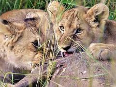 baby lions in Masai mara National Park, Kenya (Chuanguo Xu) Tags: kenya africa lions grassland masai mara wild hunting