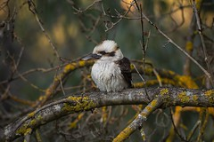 Laughing Kookaburra (Dacelo novaeguineae), perched in an oak tree. (jonpfraser) Tags: lichen winter beak feathers