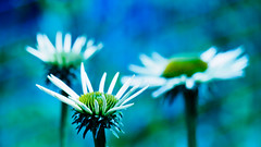 3! (m_laRs_k) Tags: hss slidersunday blues greens olympus omd heidelberg zoo 14150 zooom 169 7dwf lightroomed 3 海德堡 гейдельбе́рг flowers flora nature outdoors bokeh dof flowerpower closeup