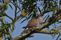 The Turtle Dove (Streptopelia turtur) Caught in the act ! (GrahamParryWildlife) Tags: global 150600 sport sigma mk11 mk2 7d canon parry graham grahamparrywildlife kentwildlife outdoor bird great detail feather kent the turtle dove streptopelia turtur caught act