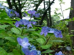 Hydrangea in the rain (odeleapple) Tags: olympus e5 zuiko digital 1122mm zd hydrangea rain blue flower