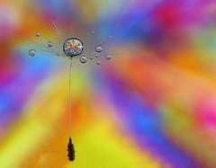 . (Lorraine1234) Tags: dandelion macro drops