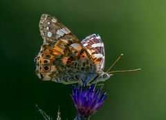 DSC7297 Painted Lady.. (jefflack Wildlife&Nature) Tags: paintedlady butterflies butterfly lepidoptera insects insect summermigrant glades copse wildlife wildlifephotography wildflowers nectaring wetlands woodlands hedgerows heathland heaths moorland meadows marshland countryside jefflackphotography nature