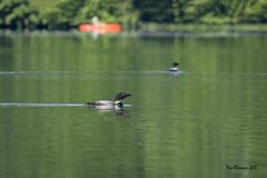 Summer morning on Eastman Lake (wandering tattler) Tags: bird loon wildlife diver water lake gavia summer green new hampshirenew england 2018