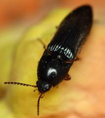 10.2 mm black click beetle (ophis) Tags: coleoptera polyphaga elateroidea elateridae elaterinae ampedini ampedus clickbeetle laetiporus laetiporussulphureus sulfurshelf