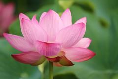 Lotus (Teruhide Tomori) Tags: summer japan japon nature flower lotus 日本 ハス 初夏 植物 京都 kyoto toji 花 東寺