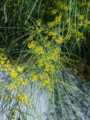 Parkinsonia aculeata 3 (e_velo (εωγ)) Tags: 2018 catalunya baixllobregat elpratdellobregat summer verano estiu flora flors flores flowers