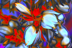 Yucca filamentosa 'HansHoltiana' (HansHolt) Tags: yucca yuccafilamentosa hansholtiana flower petals red white blue macro bokeh dof canon 6d 100mm canoneos6d canonef100mmf28macrousm